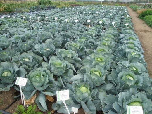Давайте узнаем, нужно ли обрывать нижние листья у капусты?