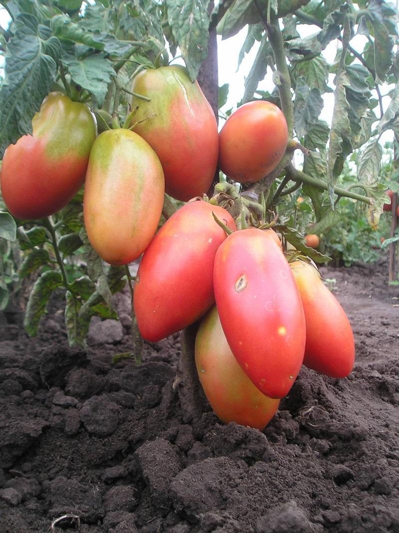 помидоры сорта для открытого грунта фото