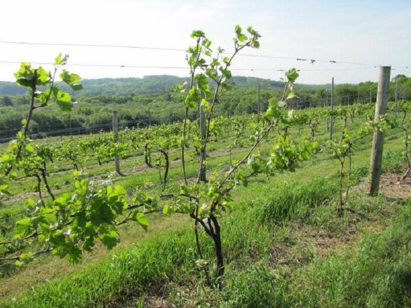 Лучшие шпалеры для винограда фото