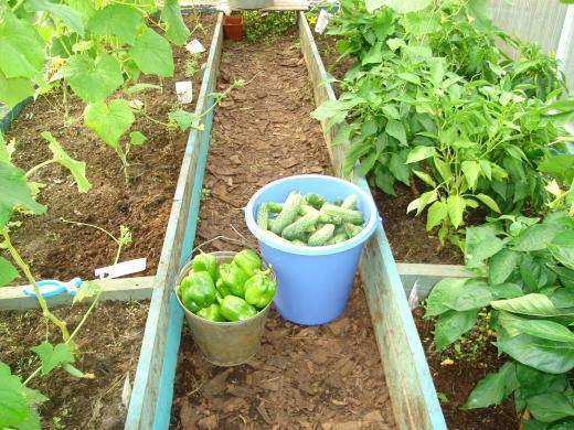 Можно ли рядом сажать помидоры и перцы 29
