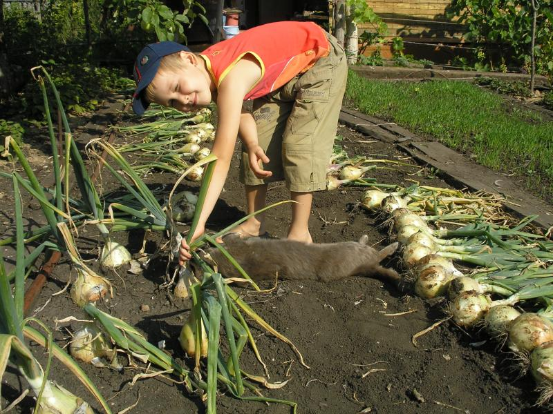 Выращивание и уборка лука 96